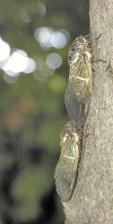 クマゼミの透明な羽には抗菌効果がある=関口純撮影