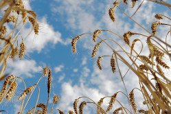 オーストラリアの小麦の不作は日本にも影響(Bloomberg)