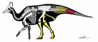 ハドロサウルス科恐竜の骨格図=むかわ町立穂別博物館提供