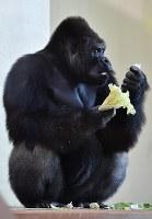 引っ越した新ゴリラ舎でえさを食べるニシローランドゴリラの「シャバーニ」=名古屋市千種区の東山動植物園で2018年9月5日午後3時7分、大西岳彦撮影