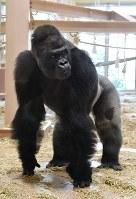 引っ越した新ゴリラ舎で過ごすニシローランドゴリラの「シャバーニ」=名古屋市千種区の東山動植物園で2018年9月5日午後2時22分、大西岳彦撮影