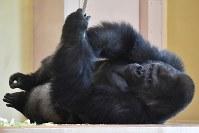 引っ越した新ゴリラ舎で過ごすニシローランドゴリラの「シャバーニ」=名古屋市千種区の東山動植物園で2018年9月5日午後2時13分、大西岳彦撮影