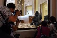 新ゴリラ舎の報道公開でカメラマンに写真を撮られるニシローランドゴリラの「シャバーニ」=名古屋市千種区で2018年9月5日午後2時58分、大西岳彦撮影