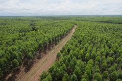 南スマトラにあるムシパルプの植林地(丸紅提供)