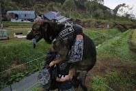 地震による土砂崩れが起きた集落で、足場の悪いなか捜索に加わる警備犬を担いで現場に向かう自衛隊員=北海道厚真町で2018年9月7日午前7時15分、和田大典撮影