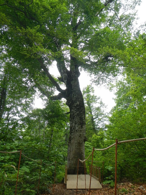 幹が折れる前のマザーツリー=津軽森林管理署提供