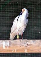 島根県出雲市で飼育しているトキ=同市の市トキ分散飼育センター提供