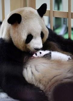 母親の良浜に抱かれる赤ちゃんパンダ=和歌山県白浜町のアドベンチャーワールドで2018年9月13日午前9時52分、猪飼健史撮影