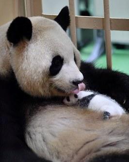 母親の良浜に抱かれる赤ちゃんパンダ=和歌山県白浜町のアドベンチャーワールドで2018年9月13日午前9時53分、猪飼健史撮影