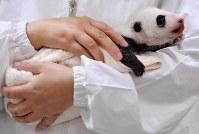 公開された赤ちゃんパンダ=和歌山県白浜町のアドベンチャーワールドで2018年9月13日午前9時32分、猪飼健史撮影