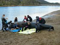タスマニアでバルーンを使って座礁クジラ救出の講習を受ける市民たち=2005年、田中洋之撮影