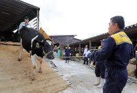 Tetsuji Sakuma, right, unloads a cow from a truck in the Fukushima Prefecture village of Katsurao on Sept. 13, 2018, as he resumes operations at his dairy farm for the first time since the Fukushima No. 1 Nuclear Power Plant disaster. (Mainichi)
