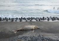 浜岡原発敷地内の海岸に漂着したクジラの死骸=中部電力提供