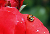 In this May 26, 2010 file photo, a Coccinellidae, more commonly known as a ladybug or ladybird beetle, rests on the petals of a rose in Portland, Ore. (AP Photo/Don Ryan)