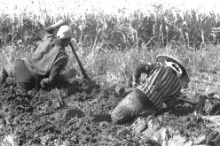 福島潟で泥につかりながら刈りいれ後の田打ちをする農民=1953年9月撮影
