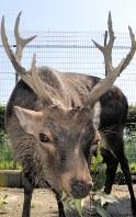 ホンシュウジカの角は樹木などで削られ、先端は鋭くとがっている=東武動物公園で2018年9月19日、梅田啓祐撮影