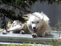 日差しの下、穏やかに休息するシンリンオオカミ。震災時も同様にのんびりと過ごしていた=旭山動物園提供