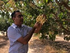 収穫期を迎え鈴なりになったピスタチオを手に取る州立大学のグルート・ブラー教授=米西部カリフォルニア州フレズノ近郊で2018年8月30日、清水憲司撮影