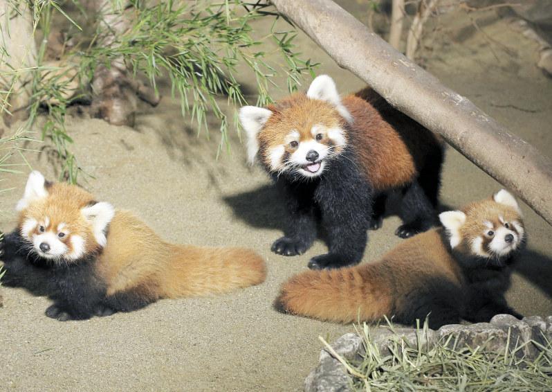公開されたレッサーパンダの赤ちゃん(手前の左右)と母親=那須どうぶつ王国提供