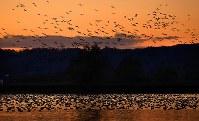 夕暮れ時、宮島沼に集まるマガンの群れ=北海道美唄市で2018年10月13日午後5時20分、貝塚太一撮影
