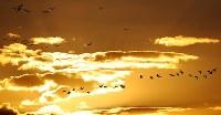 夕暮れ時、宮島沼周辺で飛来するマガンの群れ=北海道美唄市で2018年10月13日午後4時38分、貝塚太一撮影