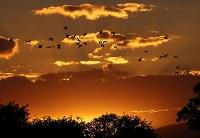 夕暮れ時、宮島沼周辺で飛来するマガンの群れ=北海道美唄市で2018年10月13日午後4時46分、貝塚太一撮影