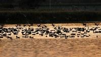 夕暮れ時、宮島沼に集まるマガンの群れ=北海道美唄市で2018年10月13日午後5時3分、貝塚太一撮影