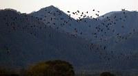 夕暮れ時、宮島沼に集まるマガンの群れ=北海道美唄市で2018年10月13日午後5時4分、貝塚太一撮影