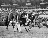 【1964年】シンザン セントライト以来、23年ぶりの3冠馬となったシンザン=京都競馬場で1964年11月15日、奥田進晤撮影