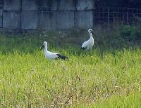 水田に飛来した2羽のコウノトリ=広島県三原市須磨田西町で、同市提供