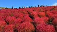 Autumn kochia leaves blanketing the hills are seen at their most colorful at the Hitachi Seaside Park in the city of Hitachinaka, Ibaraki Prefecture, on Oct. 18, 2018. (Mainichi/Kimi Takeuchi)