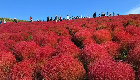 In Photos: Kochia plants at their autumn best in Ibaraki Pref. park