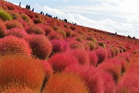 Brightly colored autumn kochia plants are seen blanketing the hills at the Hitachi Seaside Park in the city of Hitachinaka, Ibaraki Prefecture, on Oct. 18, 2018. (Mainichi/Kimi Takeuchi)