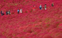 Autumn kochia plants blanketing the hills are seen at their most colorful at the Hitachi Seaside Park in the city of Hitachinaka, Ibaraki Prefecture, on Oct. 18, 2018. (Mainichi/Kimi Takeuchi)