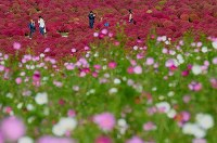 Brightly colored autumn kochia plants and flowers of cosmos blanketing the hills are seen at the Hitachi Seaside Park in the city of Hitachinaka, Ibaraki Prefecture, on Oct. 18, 2018. (Mainichi/Kimi Takeuchi)