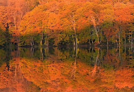 Fall foliage of Japanese beech trees glowing in rich tones of red and orange in morning sunlight reflect on the surface of Tsutanuma pond in Towada, Aomori Prefecture, in northern Japan, on Oct. 20, 2018. (Mainichi/Kaho Kitayama)