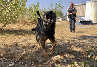 In this Sept. 6, 2018, photo, Portland Police K-9 Officer Shawn Gore gives commands to police dog Jasko, in Portland, Ore. Jasko is wearing a new canine body camera on his back. (AP Photo/Gillian Flaccus)