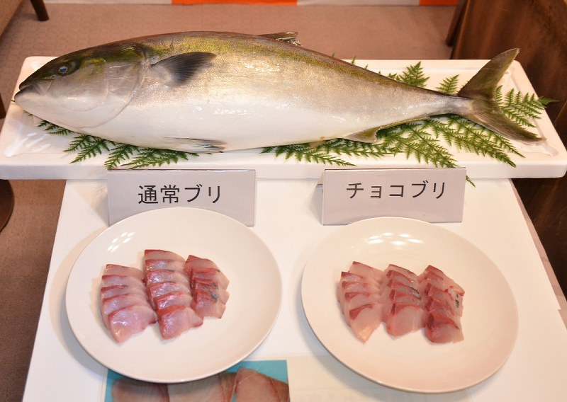 Nothing fishy about freshness of yellowtail raised on chocolate