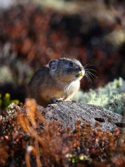 葉をくわえたまま岩の上でたたずむエゾナキウサギ=北海道鹿追町で2018年10月25日、貝塚太一撮影
