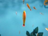 上向きに泳ぐアオギハゼ=志摩マリンランド提供