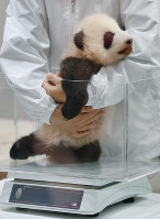 A zookeeper places a female giant panda cub on a scale to measure her weight at Adventure World in the town of Shirahama, Wakayama Prefecture, on Nov. 1, 2018. (Mainichi/Kenji Ikai)
