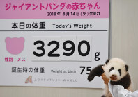 A female giant panda cub is seen in front of a sign showing her weight on Nov. 1, 2018, at Adventure World in the town of Shirahama, Wakayama Prefecture. (Mainichi/Kenji Ikai)