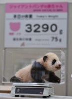 A female giant panda cub is seen on scale to measure her weight at Adventure World in the town of Shirahama, Wakayama Prefecture, on Nov. 1, 2018. (Mainichi/Kenji Ikai)