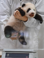 A female giant panda cub is held in a zookeeper's arms to measure her weight at Adventure World in the town of Shiarahama, Wakayama Prefecture, on Nov. 1, 2018. (Mainichi/Kenji Ikai)