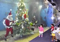 サンタクロースに扮した職員らによって水槽内に設置されたクリスマスツリー=福井県坂井市三国町崎の越前松島水族館で、塚本恒撮影
