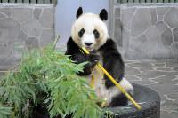 神戸市北区淡河町で採った竹を食べるタンタン=神戸市灘区王子町の市立王子動物園で、峰本浩二撮影
