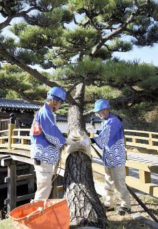 松の木にこもを丁寧に巻き付ける作業員=和歌山市一番丁の一の橋前で2018年11月7日、木原真希撮影