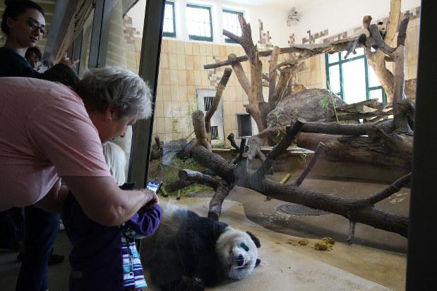 3頭のパンダは動物園の人気者だ