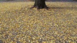 そろそろ落ち葉の季節。寒さとともに風邪も増えそうだ