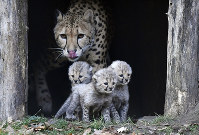 Cheetah mother Isantya looks at its three little babies at their enclosure at the zoo in Muenster, Germany, on Nov. 9, 2018. (AP Photo/Martin Meissner)